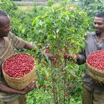The Danger Of Climate Change on Coffee